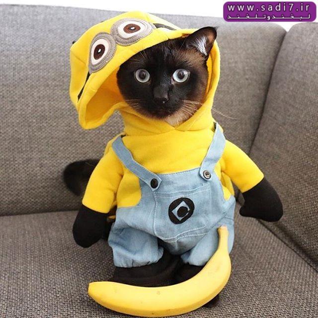 گربه مینیونی